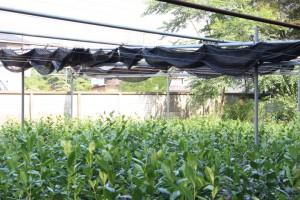 てん茶の畑